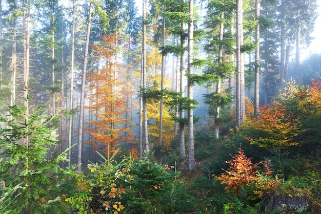 Beautiful morning fog and sunbeams in autumn pine forest.