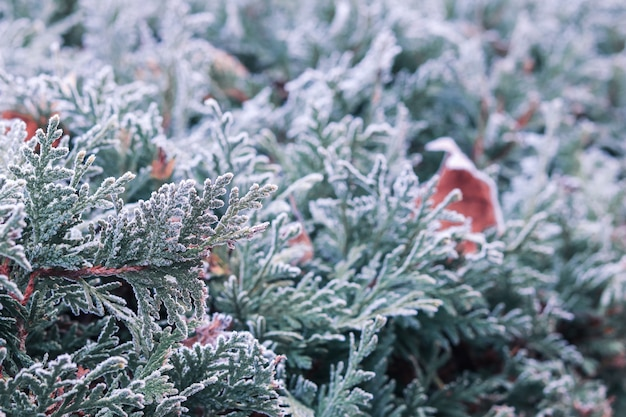 Beautiful morning frost on green thuja