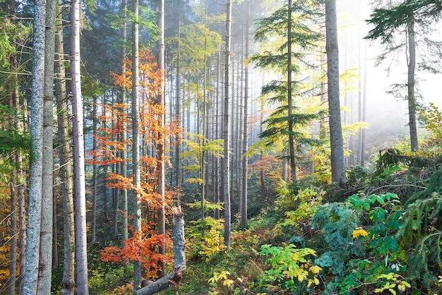 雄大な色の木々と霧の秋の森の美しい朝。
