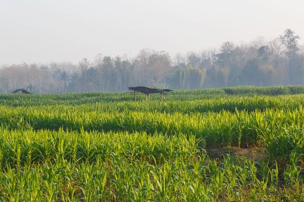 Красивое утро кукурузное поле
