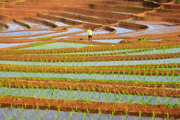 Beautiful morning view with the sun shining with farmers working in the rice fields