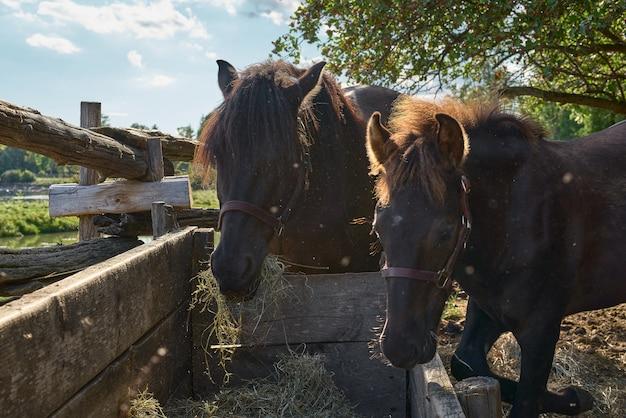 Красивая мама и малыш лошади едят сено