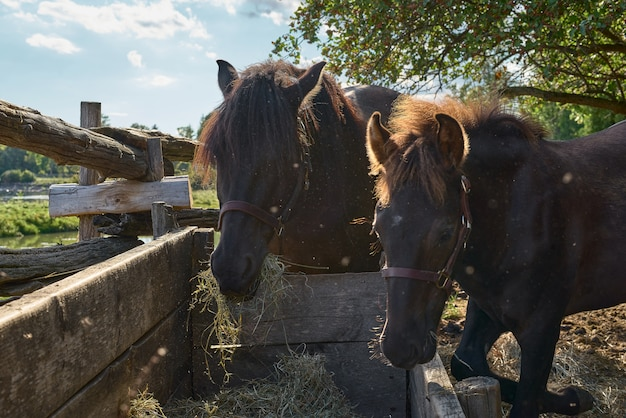 Beautiful Mother And Baby Horse Eating Hay Premium Photo