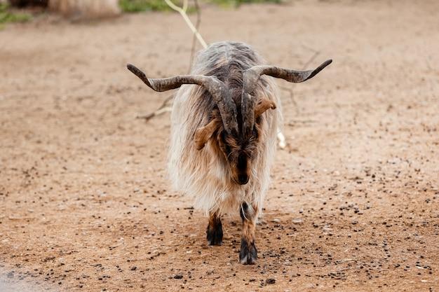 美しい山羊。山のramの肖像画。動物園で大きな角を持つ山羊。セレクティブフォーカス