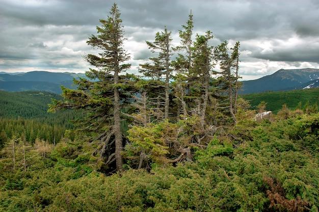 美しい山の風景。モミの木は、高地の過酷な条件で風によって損傷を受けます。生存のために戦う。
