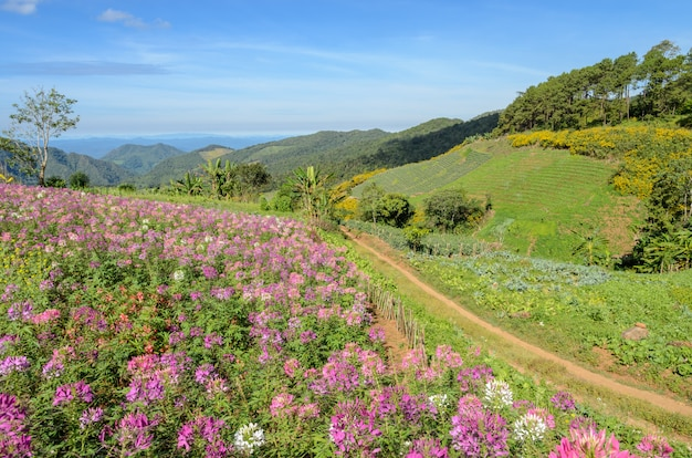 Beautiful mountain landscape with spider flower blossom in thailand
