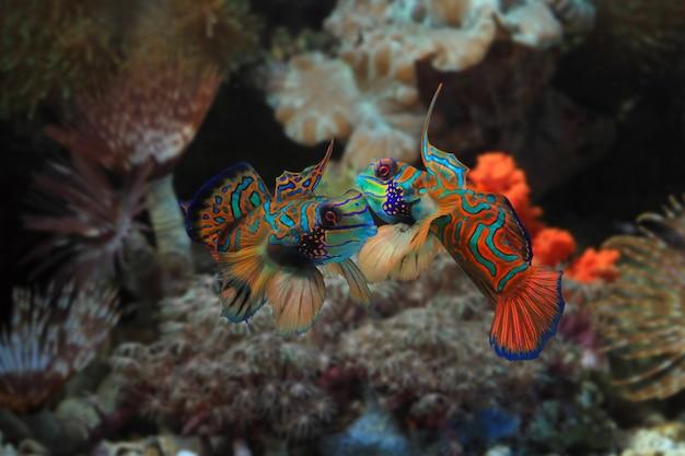 아름다운 다색 만다린 물고기 싸움