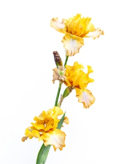 Beautiful multicolored iris flower isolated in white.