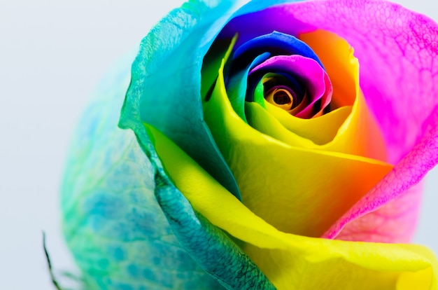 Beautiful multicolored rose on white