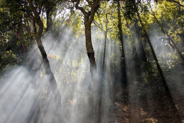 Beautiful and mysterious view of sun rays crossing the trees in the forest.