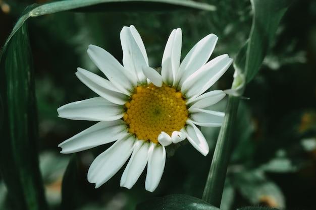 정원에 접힌 꽃잎이 있는 활기찬 데이지의 아름다운 자연 배경