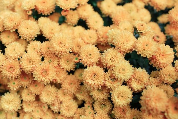 パステルイエロー色の咲く菊の美しい自然の背景。