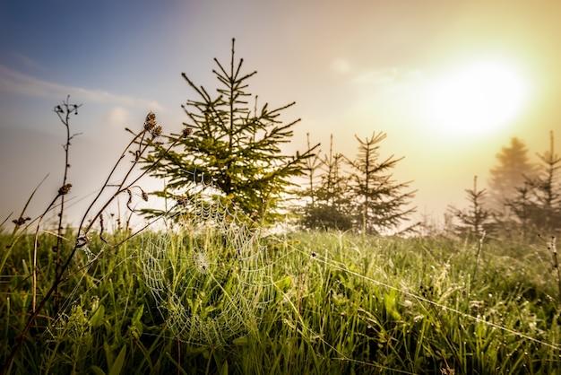 화창한 여름 아침 안개와 아침 햇살을 배경으로 어린 숲 사이에 있는 작은 가문비나무와 거미줄의 아름다운 자연 경관. 카피스페이스
