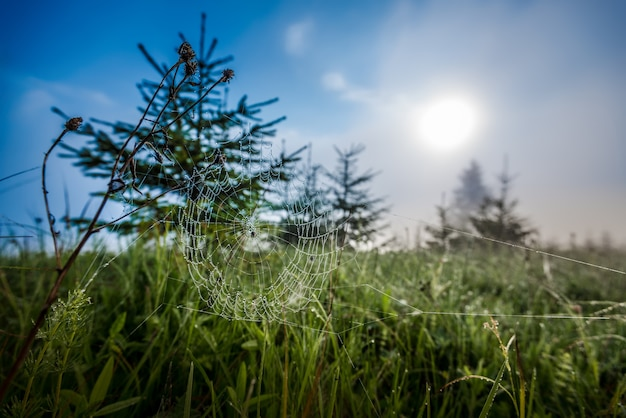 Beautiful natural view of small spruces of green grass and spiderweb among the young forest against of fog and the morning sun on a sunny summer morning. copyspace