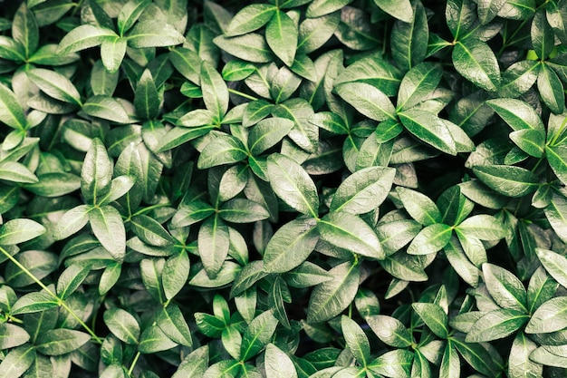 Beautiful nature background made of periwinkle leaves or green tropical leaves with detailed texture...