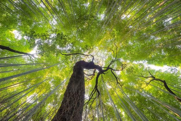 Beautiful nature bamboo groves in autumn season at arashiyama in kyoto, japan.