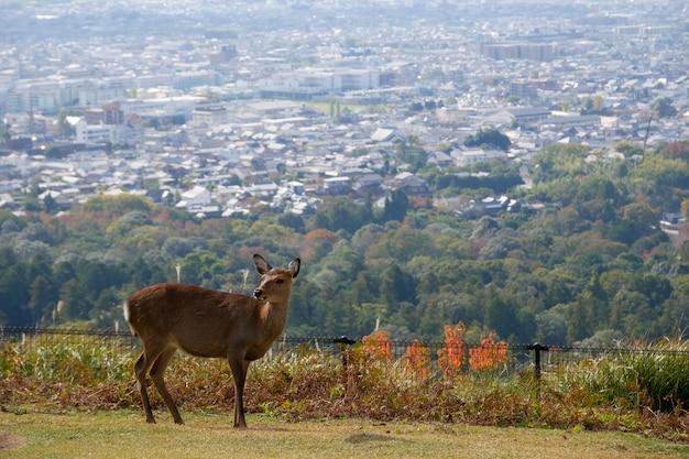 Красивая природа оленей в парке нара. концепция путешествия япония