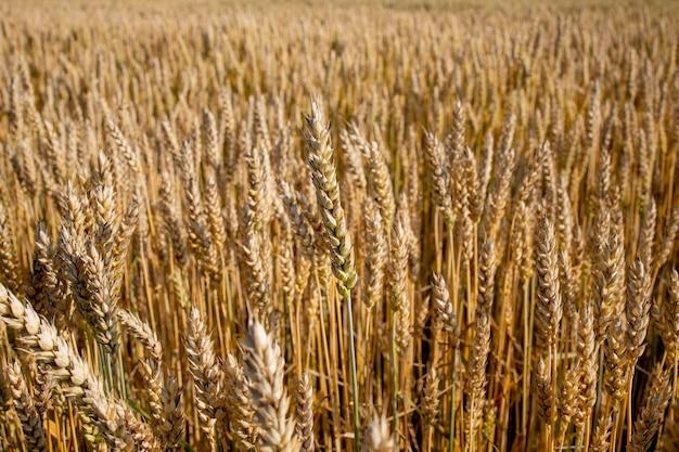 Красивый природный пейзаж с пшеницей