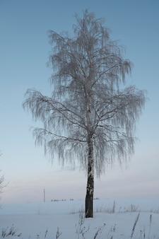 Прекрасная природа севера, природный ландшафт с большими деревьями морозной зимой. береза