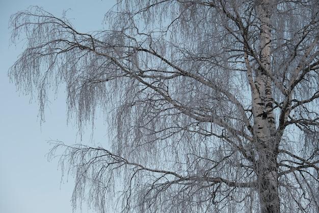 북쪽의 아름다운 자연, 서리가 내린 겨울에 큰 나무가있는 자연 경관. 자작 나무