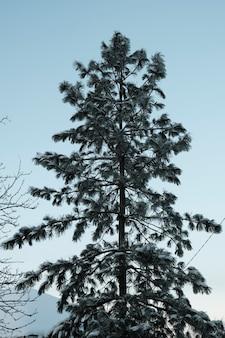 북쪽의 아름다운 자연, 서리가 내린 겨울에 큰 나무가있는 자연 경관. 고품질 사진