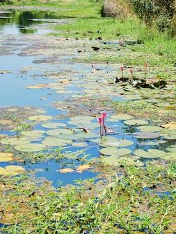 아름다운 자연 분홍색 수련 꽃이나 연꽃과 연꽃 식물, 호수 또는 연못에서 물 표면에 연꽃 잎