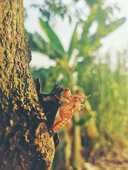 Beautiful nature scene macro cicada molting. showing of eyes and wing detail.cicada in the wildlife nature habitat