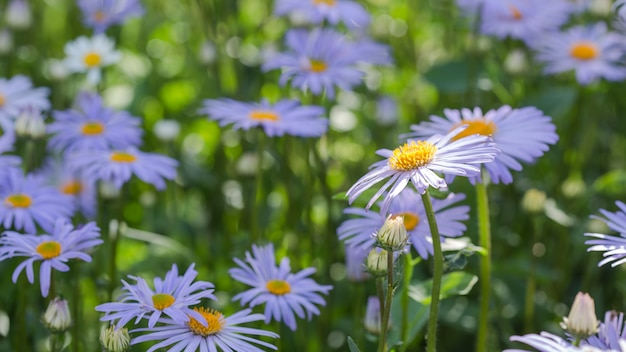 Beautiful nature scene with blooming medical blue daisies on a summer morning. alternative medicine spring chamomile. flowers in a beauty meadow.