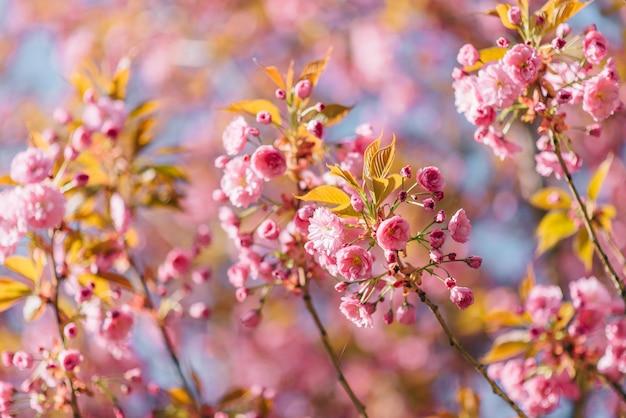 桜が咲く美しい自然シーン。閉じる。