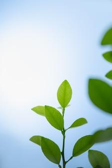 아름다운 자연은 배경 천연 식물 풍경, 생태 벽지 개념으로 사용되는 복사 공간이 있는 흐릿한 녹지와 흰색 및 푸른 하늘 배경에 녹색 잎을 봅니다.