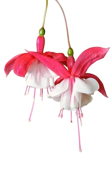 흰색 배경에 격리된 아름다운 자연 흰색 빨간색 푸치시아 하이브리드 꽃, 레이디 귀걸이, 푸크시아 마젤라니카, 허밍버드 또는 하디 푸치아 이국적인 꽃이 매달려 있습니다.