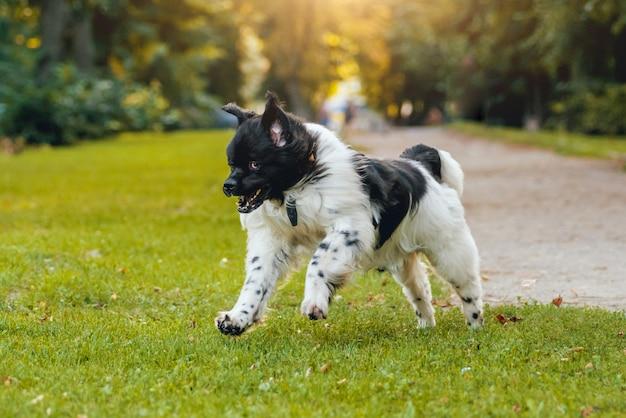 公園で美しいニューファンドランド犬。
