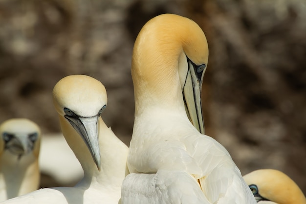 Beautiful northern gannets resting by the rocks