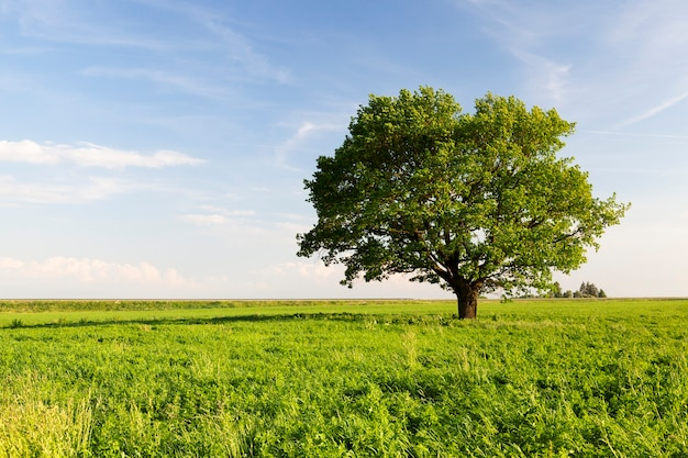 왕관 아래 푸른 하늘과 푸른 잔디의 배경에 녹색 단풍과 아름다운 오크 나무