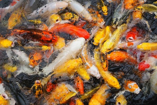 Красивый красочный много кои рыбы в пруду