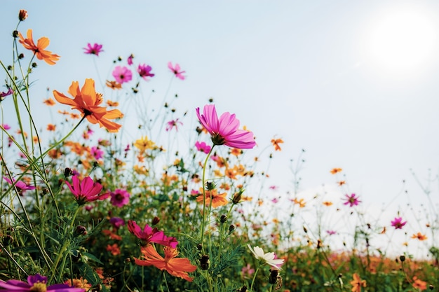 하늘에서 일출과 함께 필드에 코스모스의 아름 다운.