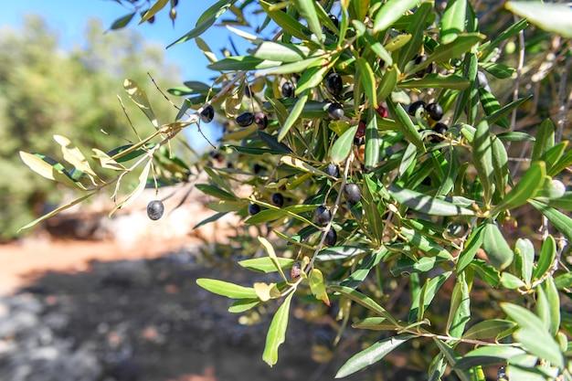 아름다운 올리브 가지, 살 렌토, 풀 리아
