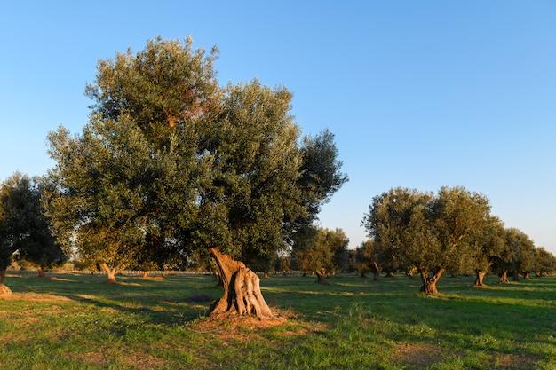 Salento, puglia에서 아름 다운 올리브 나무 배경