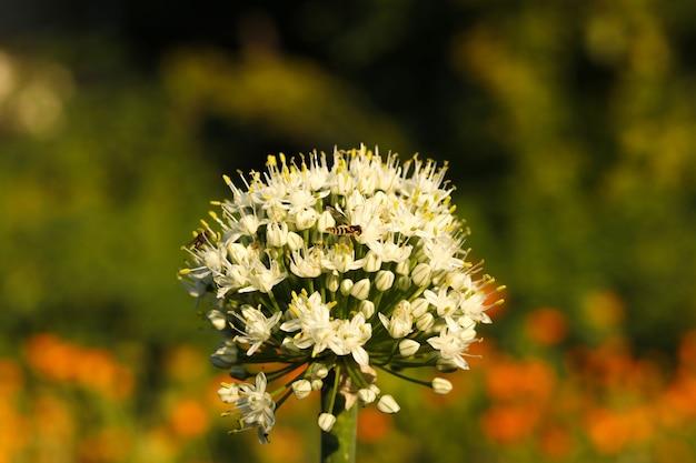 フィールドの美しいタマネギの花、水平方向の写真