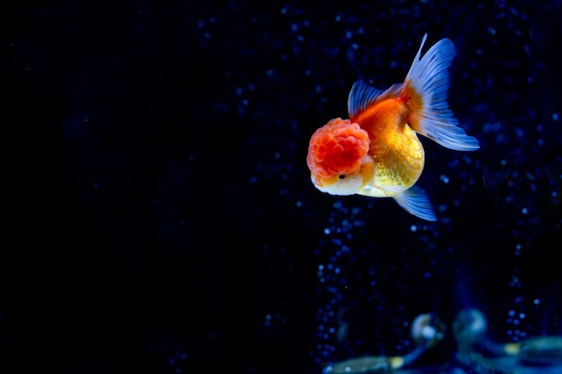 Beautiful oranda goldfish swimming in the tank with oxygen bubbles .