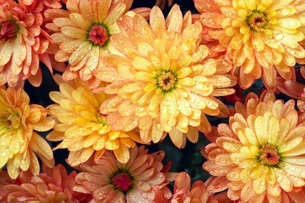 露と美しいオレンジ色の菊の花秋の鮮やかな背景