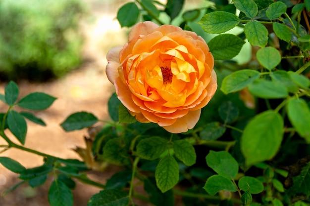 Bella rosa di colore arancione che cresce in un giardino