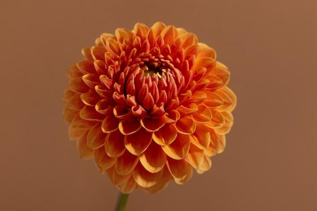 美しいオレンジ色の日当たりの良いダリアの花のテクスチャクローズアップ茶色の背景に花を表示