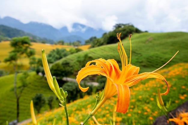 푸른 하늘과 구름, fuli, hualien, 대만이있는 sixty rock mountain (liushidan 산)에 아름다운 오렌지 옥잠화 꽃 농장을 닫습니다.