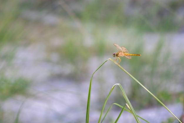 Красивая оранжевая стрекоза с прозрачными крыльями сидит на листе дикого лезвия