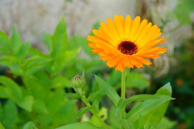 Красивый оранжевый цветок с зелеными листьями