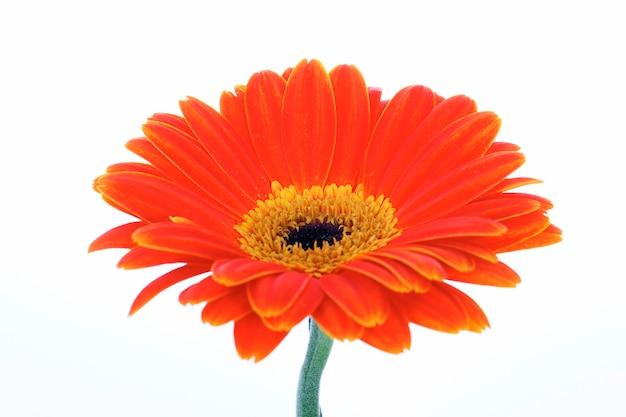 白で隔離される美しいオレンジ色のガーベラ