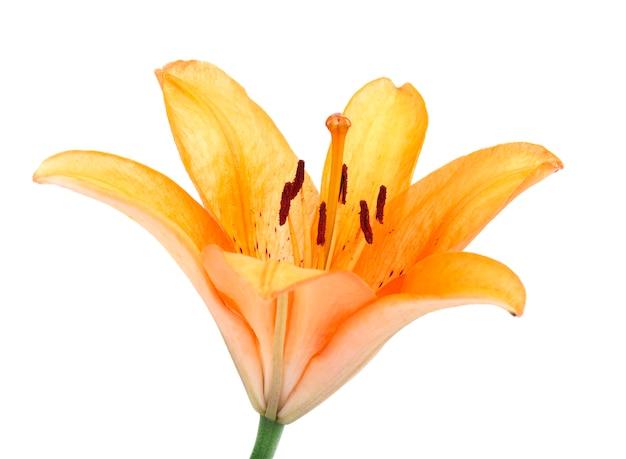 白で隔離される美しいオレンジ色のユリの花