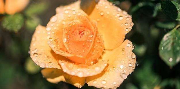 クローズアップで水滴の美しいオレンジローズ