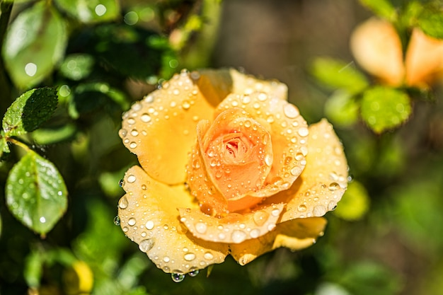 Beautiful orange rose with water drops
